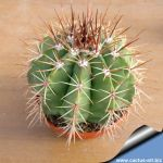 Melocactus broadwayi (pot Ø 10 cm.)