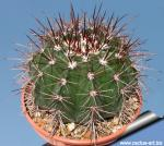 Melocactus multiceps  (Pot Ø 10 cm).