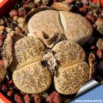 Lithops lesliei v. venteri C153 (syn. maraisii) TL: 60 km NW of Kimberley, South Africa