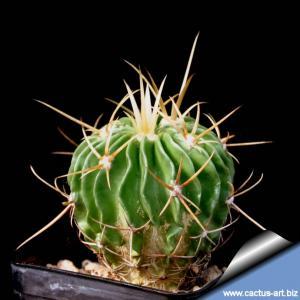 Echinofossulocactus lamellosus SB111 Metzquititlan, Hidalgo, Mexico