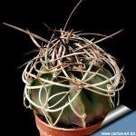 Astrophytum capricorne crassispinum