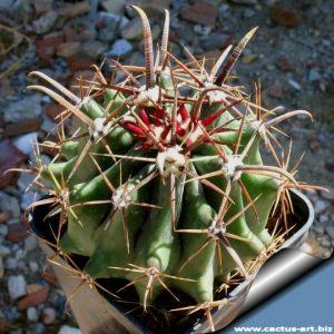 Ferocactus townsendianus (Syn.: Ferocactus peninsulae v. townsendianus)