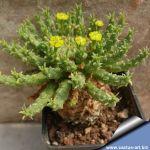 Euphorbia flannaganii