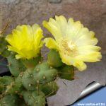 Cumulopuntia  boliviana WG086