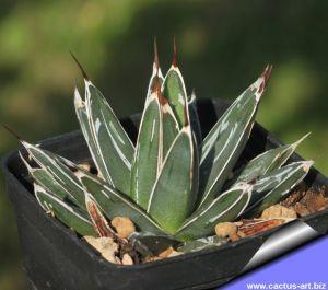 Agave victoria-reginae hybrid