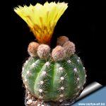 Notocactus glaucinus v. depressus HU61a - South of Quevedos, Rio Grande do Sul, Brazil