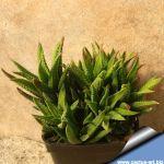 Haworthia cassytha
