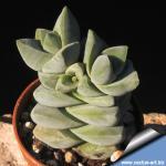 Crassula cv. Moonglow