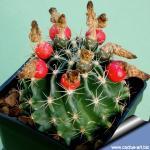 Hamatocactus setispinus v. brevispinus