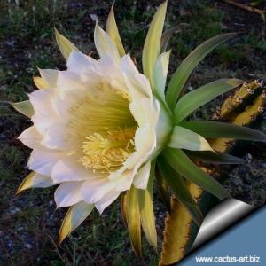 Harrisia jusbertii (syn.: Eriocereus jusbertii) Rootted cutting