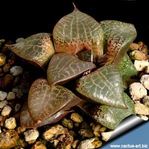 Haworthia emelyae v. comptoniana Standard form, west of Albertina, S. Africa