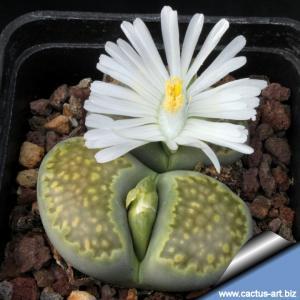 Lithops julii ssp. fulleri C056A cv. Fullergreen