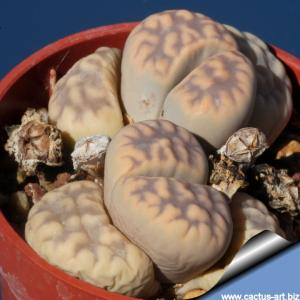 Lithops karasmontana ssp. eberlanzii C149 (syn. erniana witputzensis) TL: 110 km SSE of Aus, Namibia