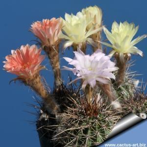 Lobivia aurea v. fallax x hybrid multicolor flowers