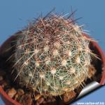 Escobaria vivipara JRT1112 Fremont Co., Colorado, USA.