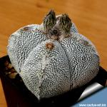 """Astrophytum, myriostigma, cv., ONZUKA, """"quadricostatum"""","""