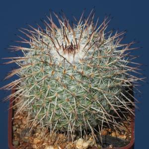 Mammillaria parckinsonii