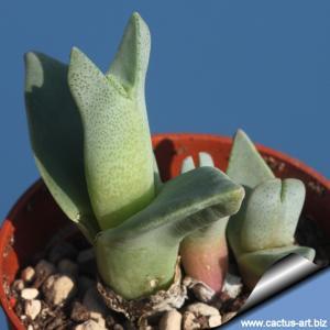 Cheiridopsis peculiaris Steinkopf, ex Rawe, thick clamshells (MG 1390)