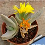 Glottiphyllum neilii GM105 N Prince Albert.