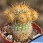 Notocactus minimus caespitosus