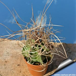 Astrophytum capricorne v. senilis Sierra Paila
