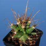 Ferobergia hybrid