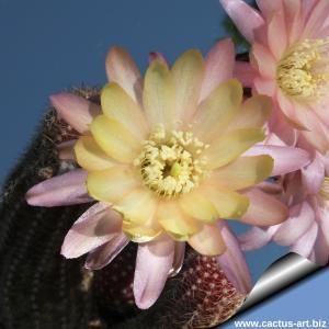 Chamaecereus hybrid (Chamaelobivia) cv. ANNIE