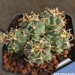 Glandulicactus mathssonii SB1449 San Luis de la Paz Guanajuato Mexico