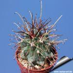 Glandulicactus uncinatus SB1482 Huizache, San Luis Potosi, Mexico.
