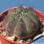 Notocactus securituberculatus