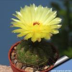 Notocactus ottonis v. tenebrosus