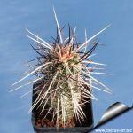 Echinocereus engelmannii v. purpureus RP75 St. George, Washington County, Utah, USA