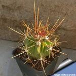 Ferocactus flavovirens FO 070