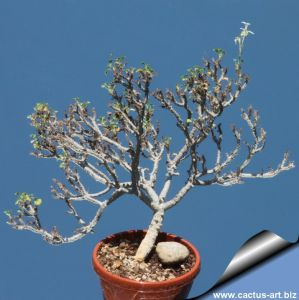Pelargonium xerophytum