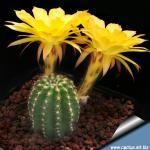 Echinopsis hybrid cv. CANDLELIGHT (Schick)