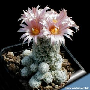 Escobaria sneedii v. leei SB397 Eddy County, New Mexico, USA