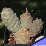 Tephrocactus diadematus inermis