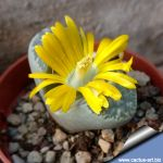 Lithops helmutii, C271 - 15km North-East of Steinkopf, Cape Province ( MG 1610 )