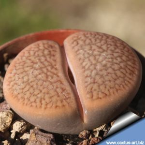 Lithops hookeri C335 (vermiculate Form) 45 km SSW of Prieska, South Africa