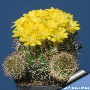 Weingartia neocumungii f. monstruosa prolifera (estremamente fiorifera)