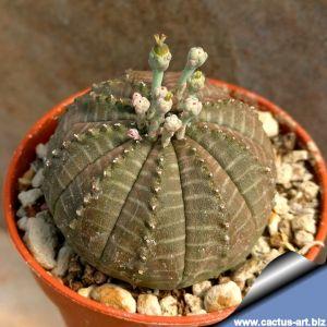 Euphorbia obesa hybrid