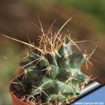 Mammillaria sp. REP1140 Arroyo Seco, Querétaro, Mexico (mammillaria cemtralifera)