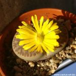 Lithops bromfieldii C368, 25km South-East of Upington, Cape Province (SA)