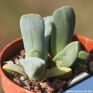 Cheiridopsis purpurea BRI22966