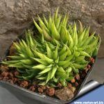 Haworthia angustifolia v. liliputana