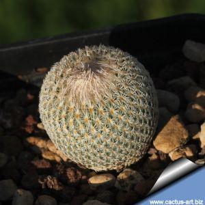 Epithelantha micromeris SB237 Dona Ana County, New Mexico, USA