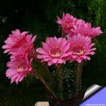 Echinopsis hybrid cv. AGATHE