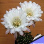 Echinopsis hybrid cv. ELEGANT LADY (Schick)