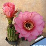 Trichopsis hybrid Pink