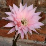 Echinopsis hybrid cv. FANCY PANTS